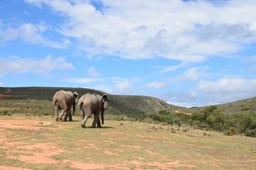 Zwei Elefanten laufen in der afrikanischen Landschaft