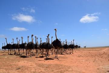 Strauße auf einer Farm in der kleinen Karoo