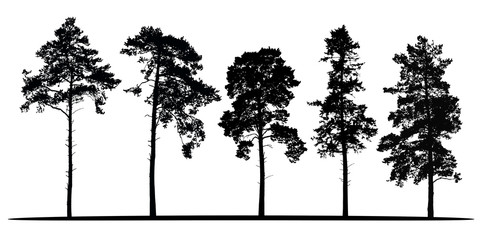 Set of realistic vector silhouettes of coniferous trees - isolated Wall mural