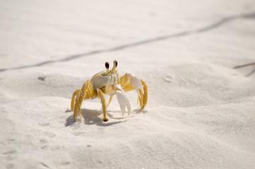 Sand Crab 955