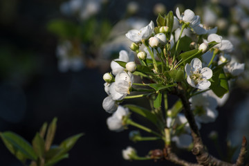 white spring flower blossoms and buds in morning sun with copy space