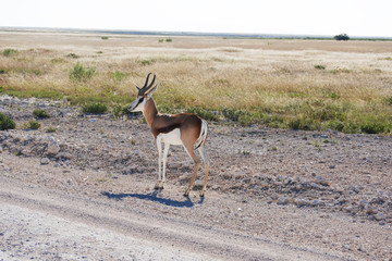 A beautiful male Dorcas Antelope. Wildlife antelope, safari in Namibia, Africa, National Park