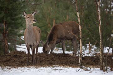 Adult Feeding Female Red Deer  At Pine Forest Background In Winter Time. European Wildlife Landscape With Snow And Deer ( Cervidae ). Portrait Of Lonely Graceful Female Deer ( Cervus Elaphus )