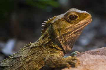 Native New Zealand Tuatara reptile Portrait