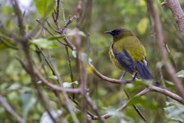New Zealand bellbird, Korimako