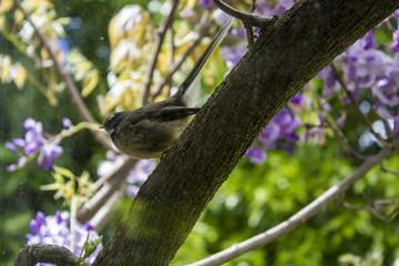 New Zealand Fantail bird on tree branch