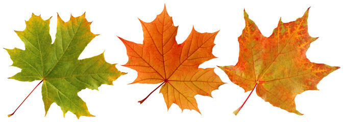 Autumn maple leaves isolated on white background.