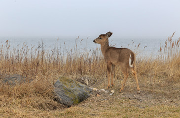 White-tailed Deer in coastal habitat in winter