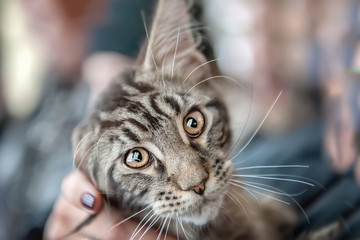 Beautiful fluffy grey young Maine Coon cat stares big beautiful intelligent eyes the lens. Portrait.