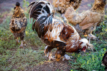 Meat-egg breed of chickens Houdan grazing outdoors in a green farm field. This large domestic bird with outstanding performance for private farms. Mottled Houdan Chicken Breed (Breeder Flock)