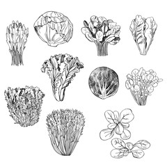 Hand drawn different kinds of lettuce on white background.