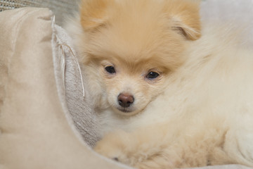 Pomeranian Spitz in dog bed