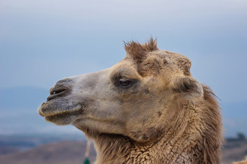 portrait of a one humped camel