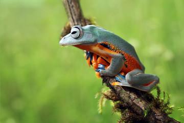 Tree frog, Javan tree frog, flying frog on branch, animal