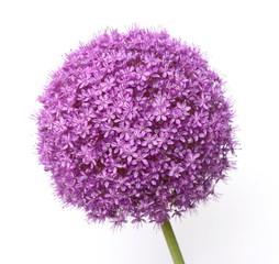 Purple Allium isolated on white