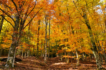 Beech forest of Montejo (Spain), the shouternmost beech forest of Europe