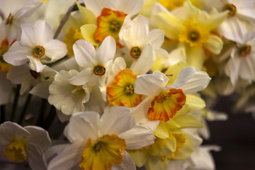 Many kinds of daffodils in a bouquet, Yellow, white daffodils in the spring. Blooming spring flowers background