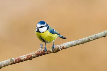 Recess Fitting Bird Blaumeise 22