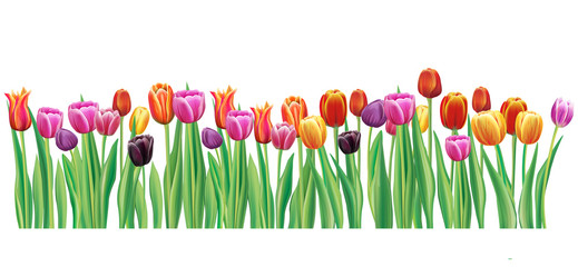 Border with multicolor vector tulips