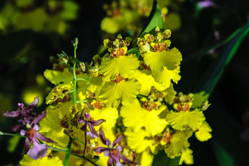 Flowers of Orchids Oncidium goldiana commonly known as Dancing ladies Orchid or Golden shower. Black background