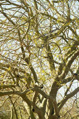 Foothills Palo Verde Tree