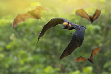 The bat flock is flying.( Lyle's flying fox) Wall mural