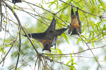 Bat hanging upside down on the bamboo tree
