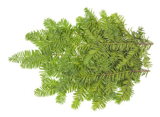 Branche of an evergreen coniferous  Yew  xmas tree.