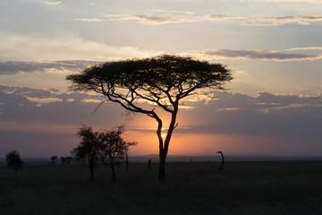 Sunset through an acacia tree