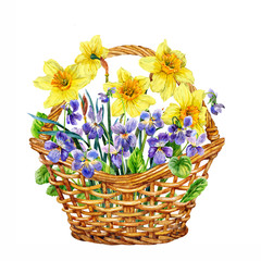 Daffodils and violets. Basket of spring flowers. Watercolor.