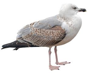 Marine gull on rest isolated on white