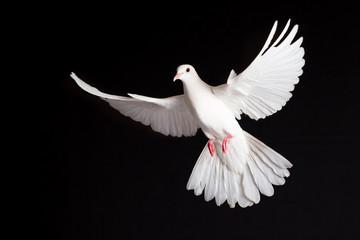 Friedenstaube Fototapete