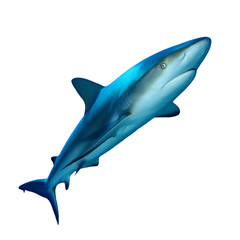 Grey Reef Shark isolated cutout on white background