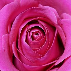 Flowers. Rose flower.