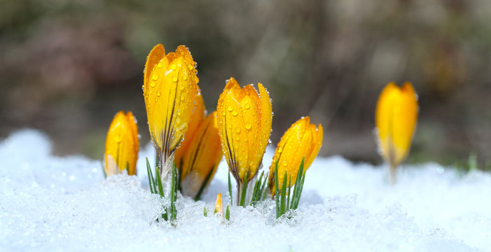 Flowers grow under snow on a spring sunny day. Crocuses yellow are the first flowers for Easter.