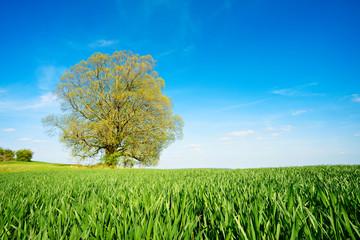 Wall Mural - Grünes Feld, blauer Himmel, große alte solitäre Linde