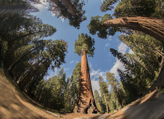 Sequoias,Sequoia,Sequoia National Park,Sequoia trees,Red Wood, Giant,Giant trees, Huge, Big, Old, Landscape, Nature,American Nature,Sequoia National Forest,