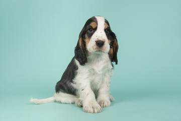 Cute multi colored cocker spaniel puppy lying down on a turquoise blue background