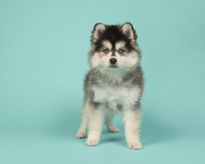 Cute pomsky puppy standing on a turquoise blue background