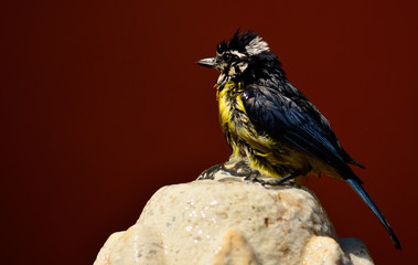 Beautiful bird taking a bath on a water fountain, Blue tit