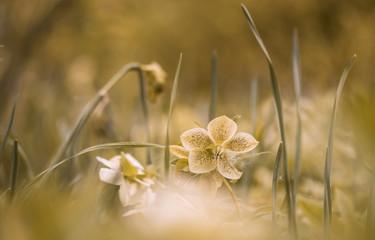 Gelbe Christrose (helleborus niger)