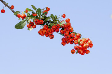Red pyracantha berries against clear blue sky