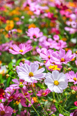 Colorful cosmos flower blooming in the field