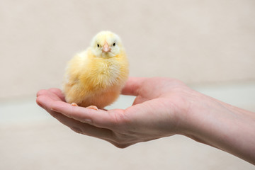 hand holding a small yellow chick