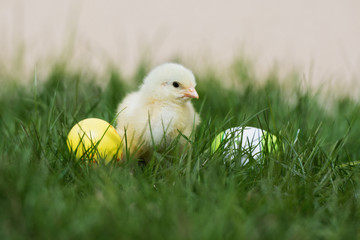 adorable yellow chick on grass