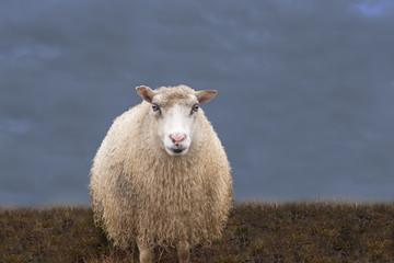 einzelnes Schaf auf der Wiese vor dunklem Himmel