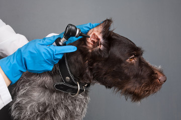 hands of veterinarian examining ear of dog with otoscope