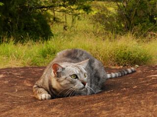 Gato deitado sobre a rocha a espreita de uma presa