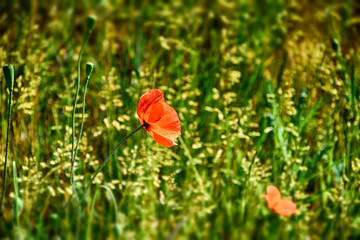 spring red poppy growing on a green meadow