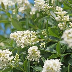 Blühender Liguster, Ligustrum, Blüten